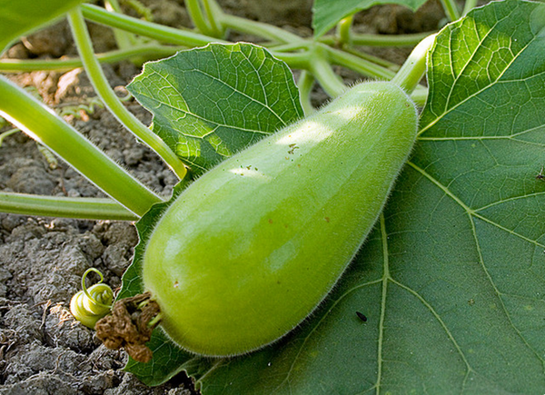 Picture of GOURD