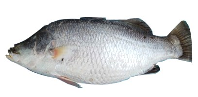 Picture of KORAL [3KG+ SIZE]