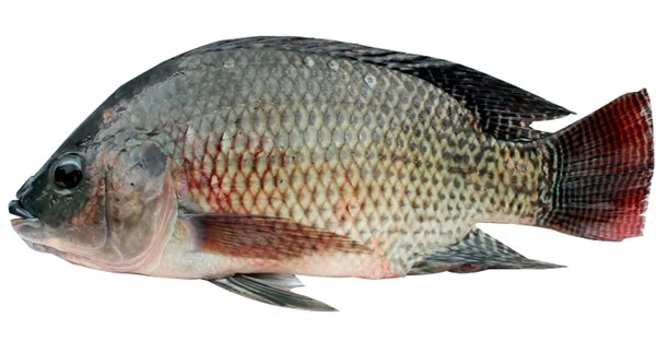 Picture of TELAPIA LIVE [1KG SIZE]
