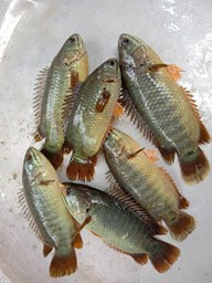 Picture of KOI (CHACHER) [10-15PCS/KG]