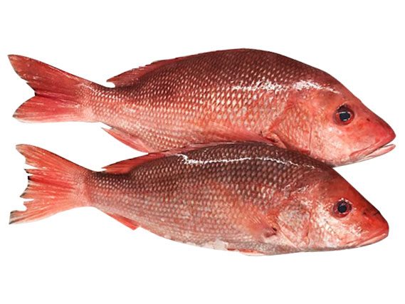 Picture of RED SNAPPER [3KG+ SIZE]