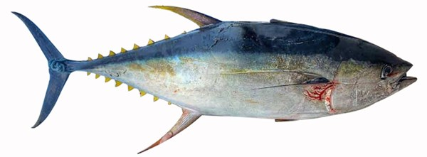 Picture of TUNA [3KG+ SIZE]