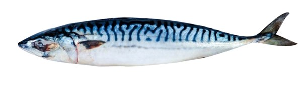 Picture of Mackerel