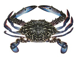 Picture of Sea Crab [2-4 pcs]