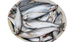 Picture of BASA [3-4PCS/KG]