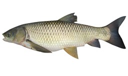 Picture of GLASS CARP [2KG+ SIZE]