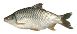 Picture of SOR PUTI (RIVER / BIL) [5-6PCS/KG]