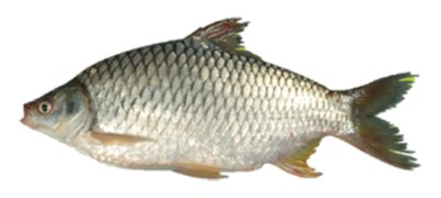 Picture of SOR PUTI (RIVER / BIL) [3-4 PCS/KG]