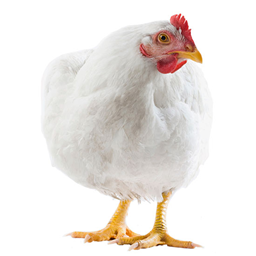 Picture of CHICKEN ( BOILER )